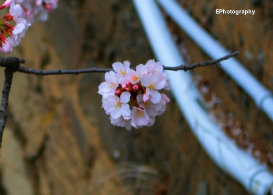 Photo 4 by Esther Proctor for Cherry Blossoms