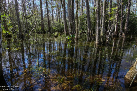 The big Cypress Preserve. Florida