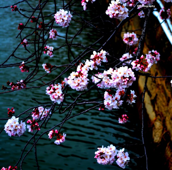 Photo 1 by Esther Proctor for Cherry Blossoms