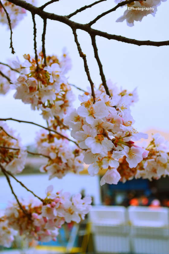 Photo 9 by Esther Proctor for Cherry Blossoms